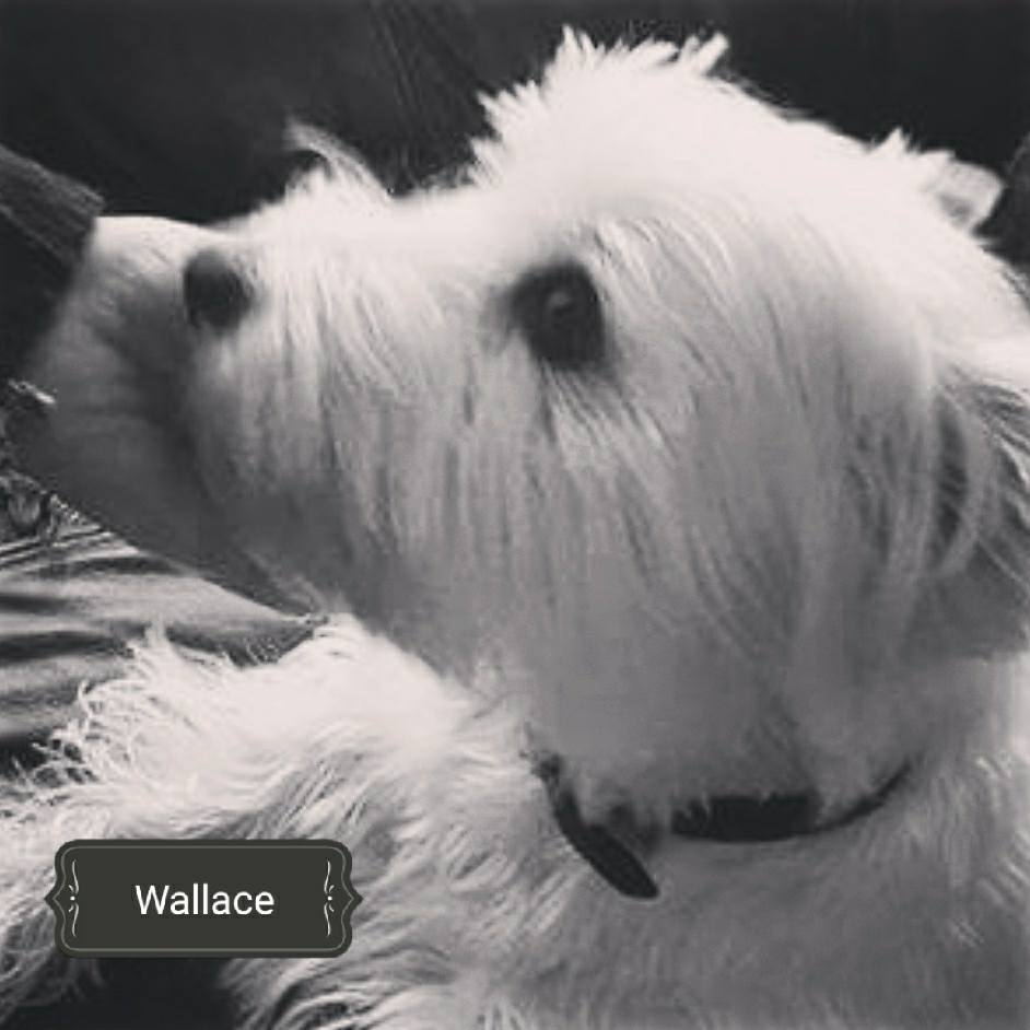 Westie Rescue UK