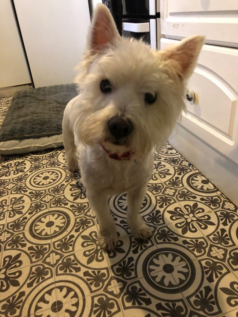 Westies For Adoption Westie Rescue Uk